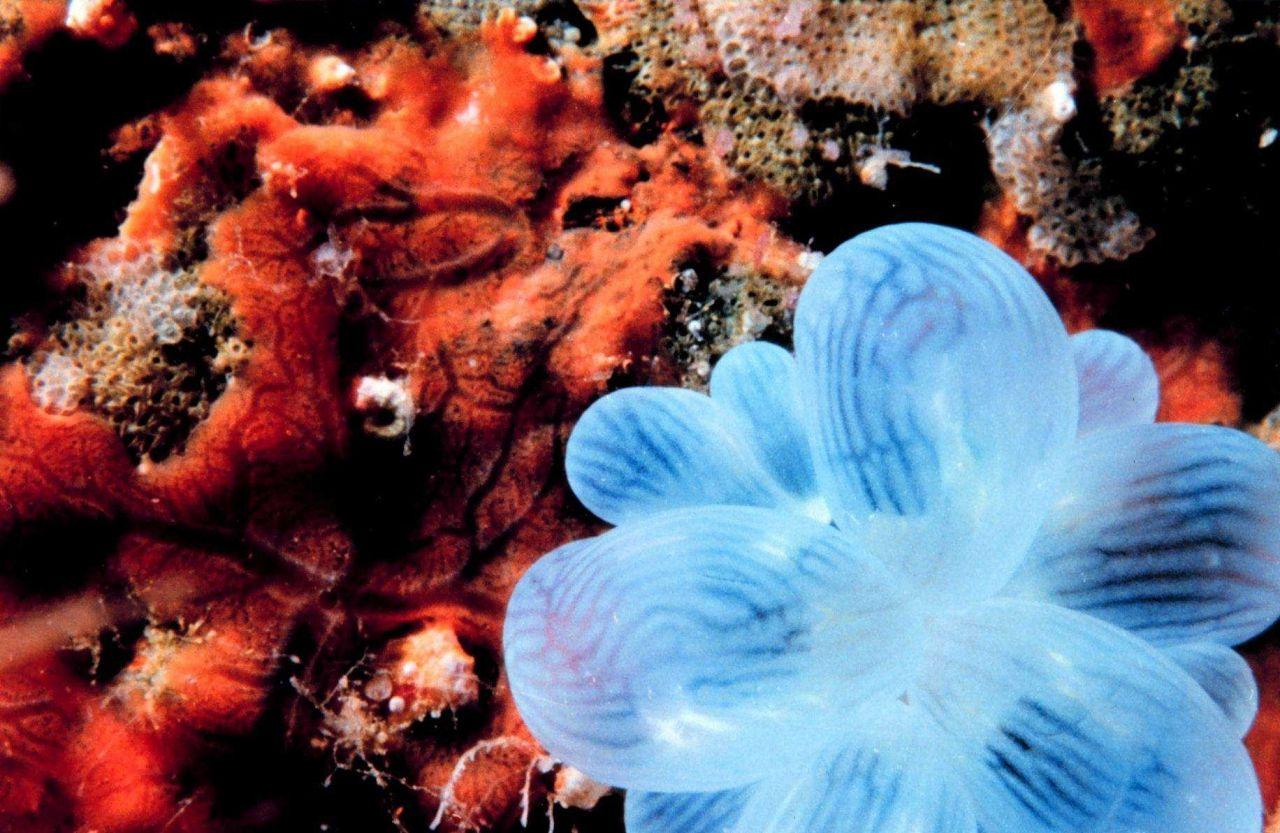 Bubble coral (Plerogyra sinuosa) Photo