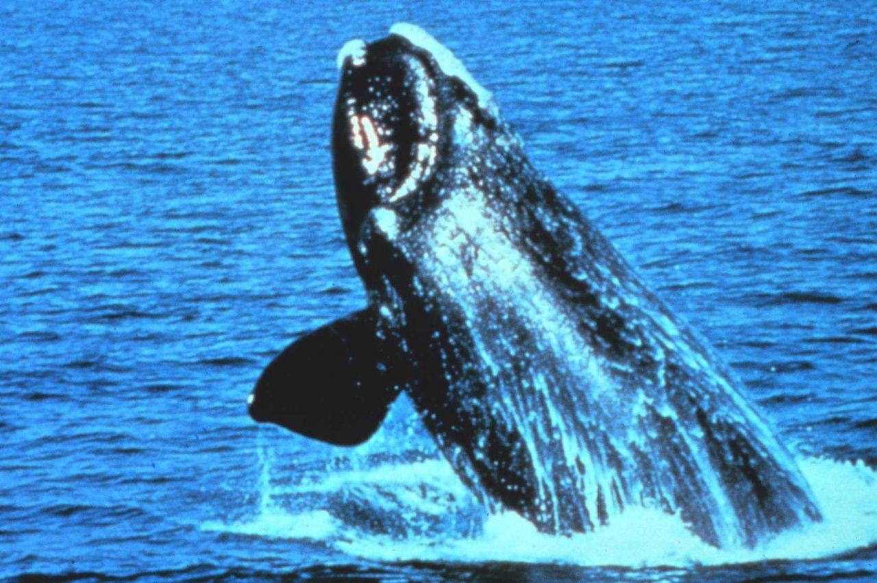 Northern Right Whale - Eubalaena glacialis Photo