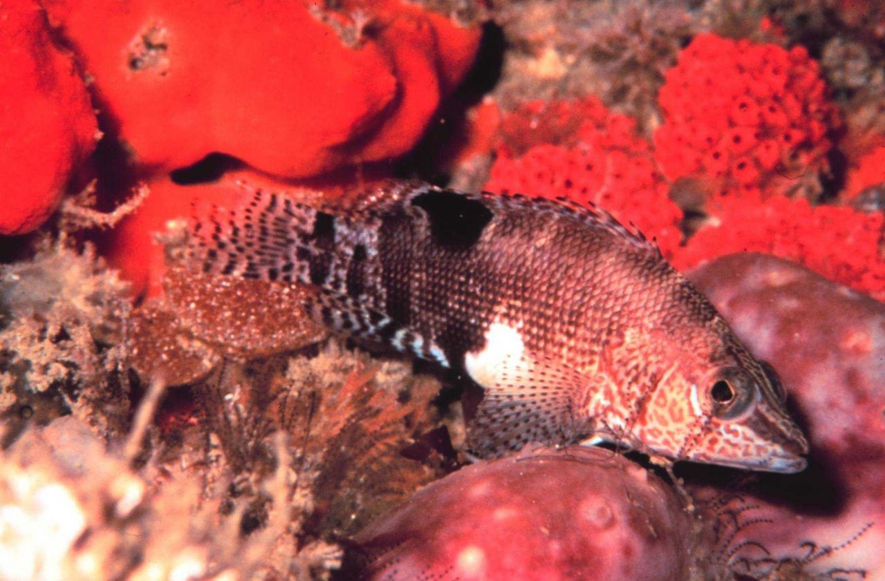 A Belted Sandfish. Photo