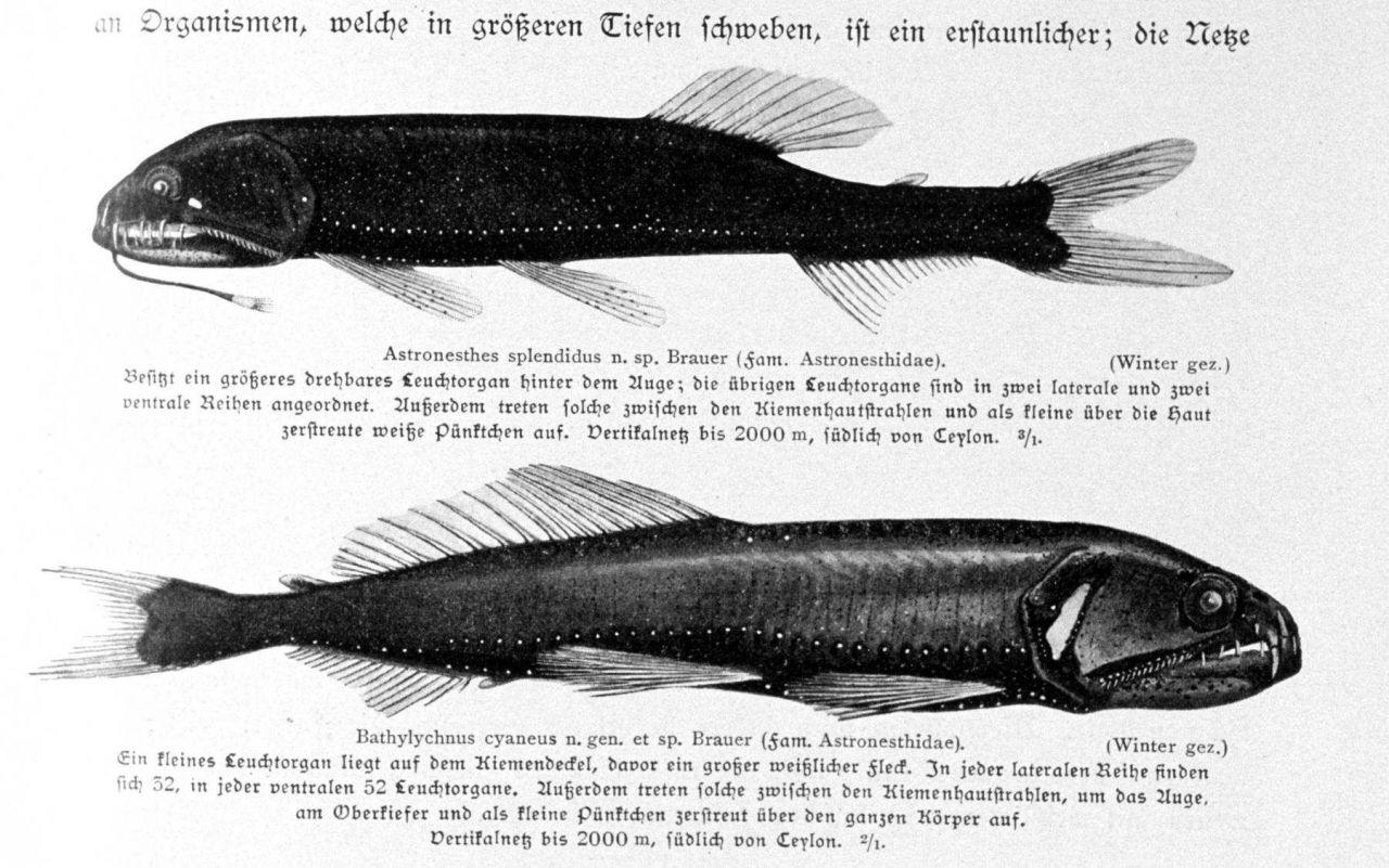 Pelagic fish Photo