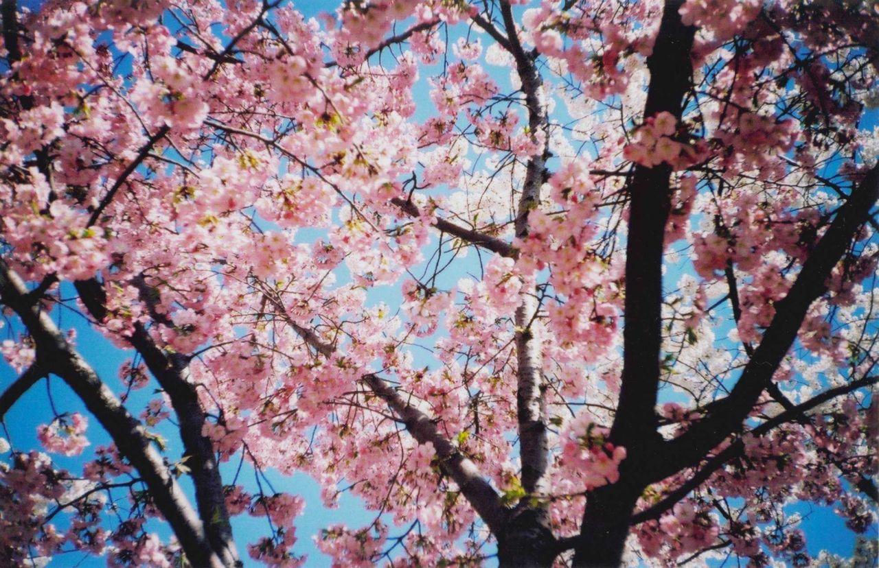 Cherry blossoms at the Tidal Basin. Photo