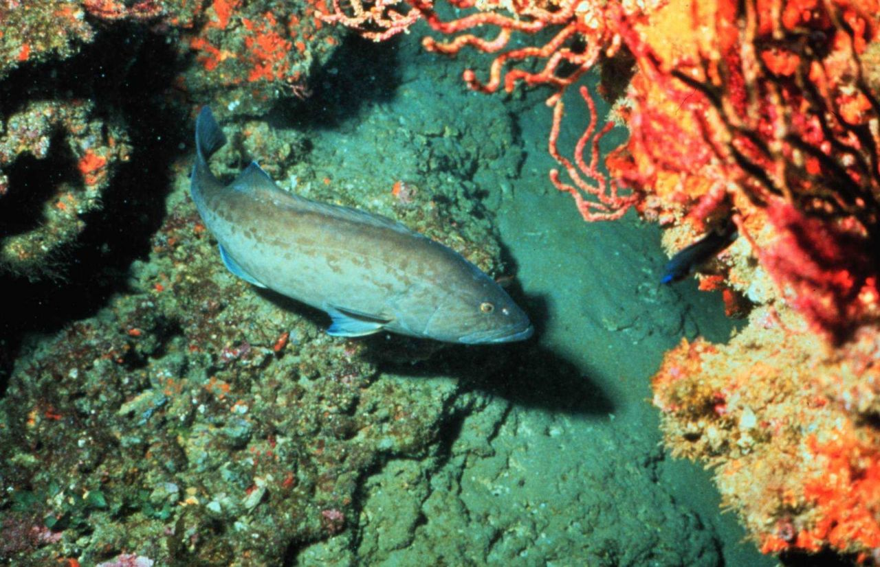 Gag is the most common grouper in the southeast U.S Photo