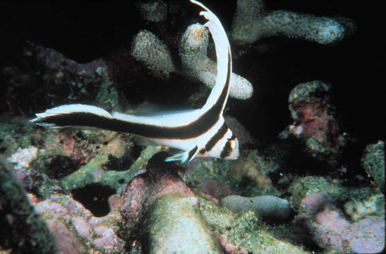 Jackknife-fish's coloration makes it stand out to potential mates Photo