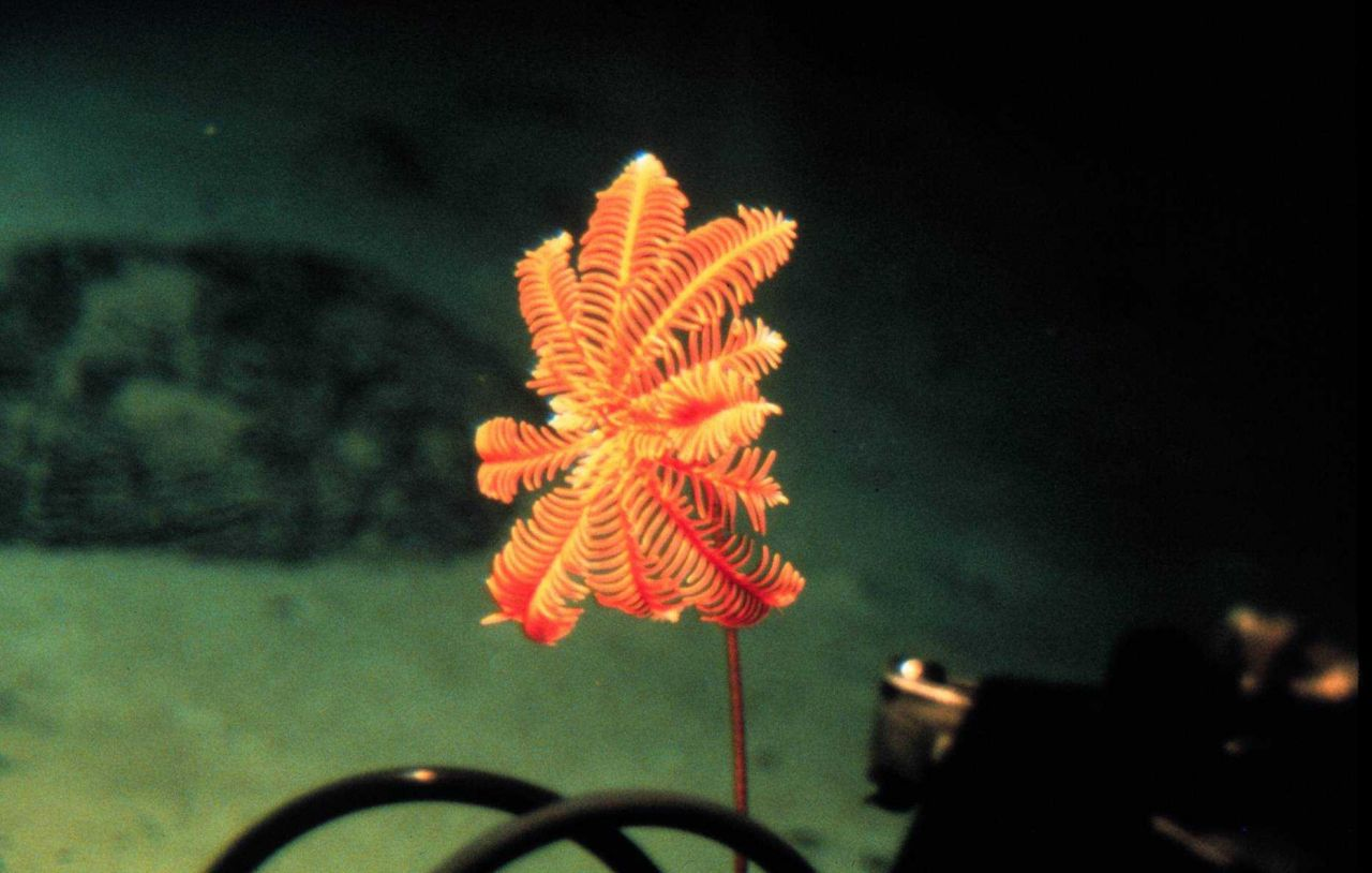 Delicate crinoid can orient towards the current to increase food capture. Photo
