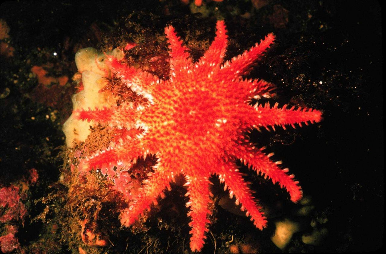 Starfish dont just have five arms-- this sun star has a dozen. Photo
