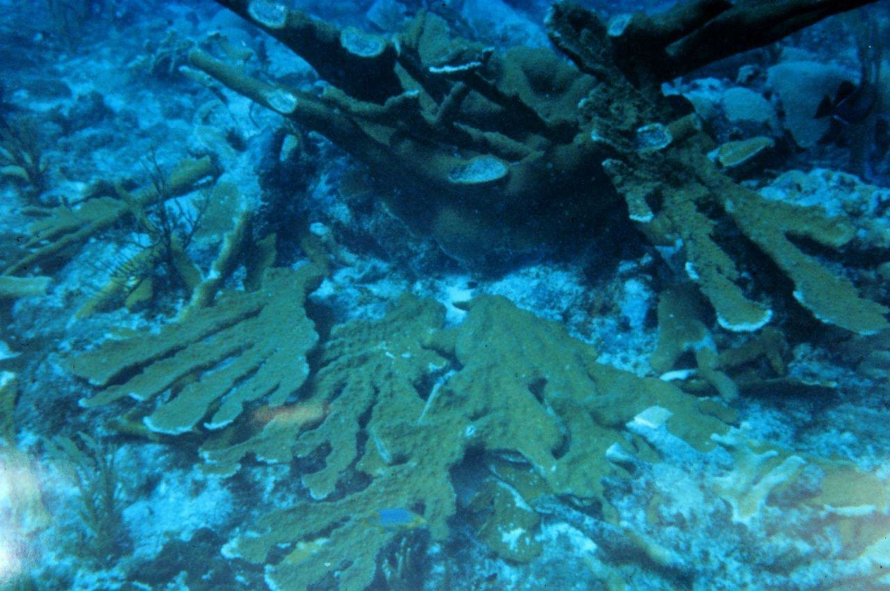 Severed branches from an Elkhorn coral stand at Mona Island. Photo