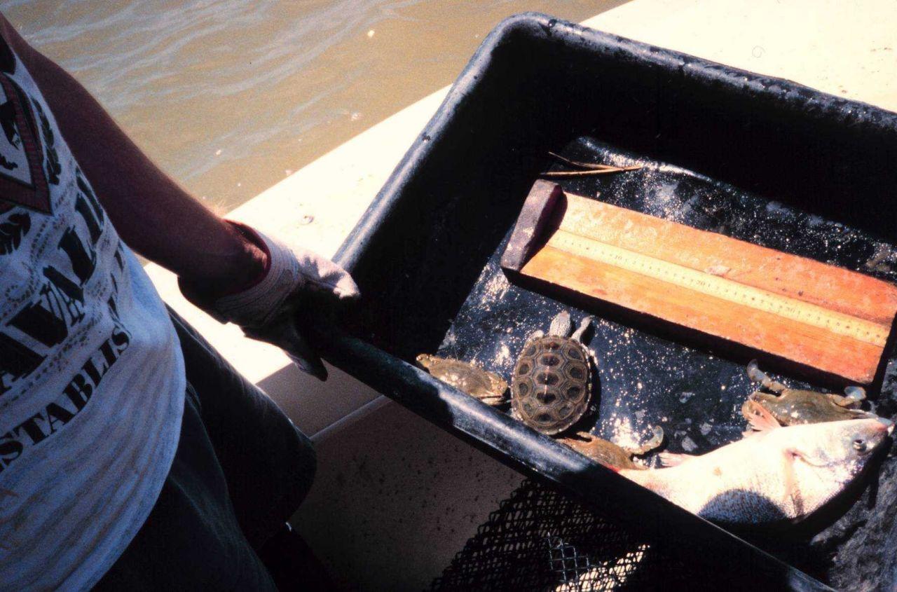 A crab pot collection containing a diamondback terrapin and Atlantic croaker Photo