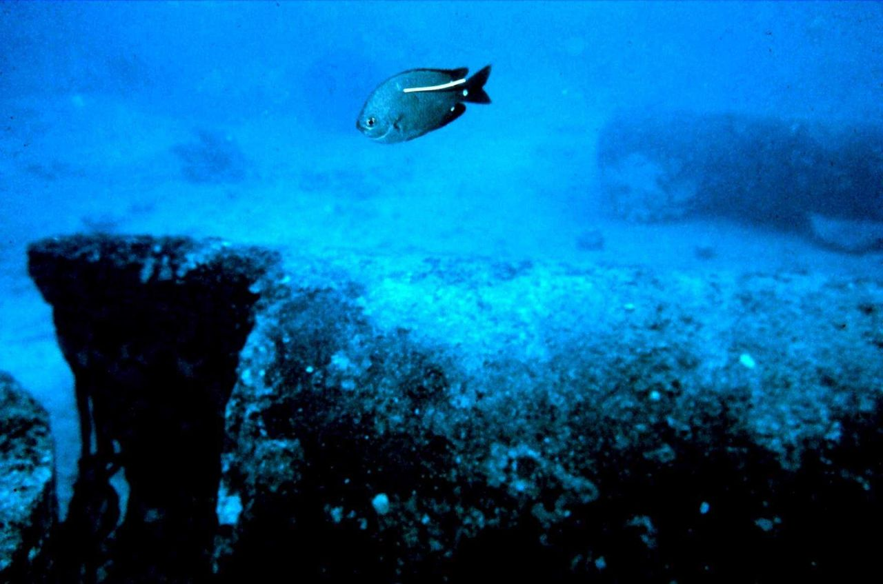 Dascyllus albisella - a type of damselfish with a spaghetti tag for tracing movement on artificial reef. Photo