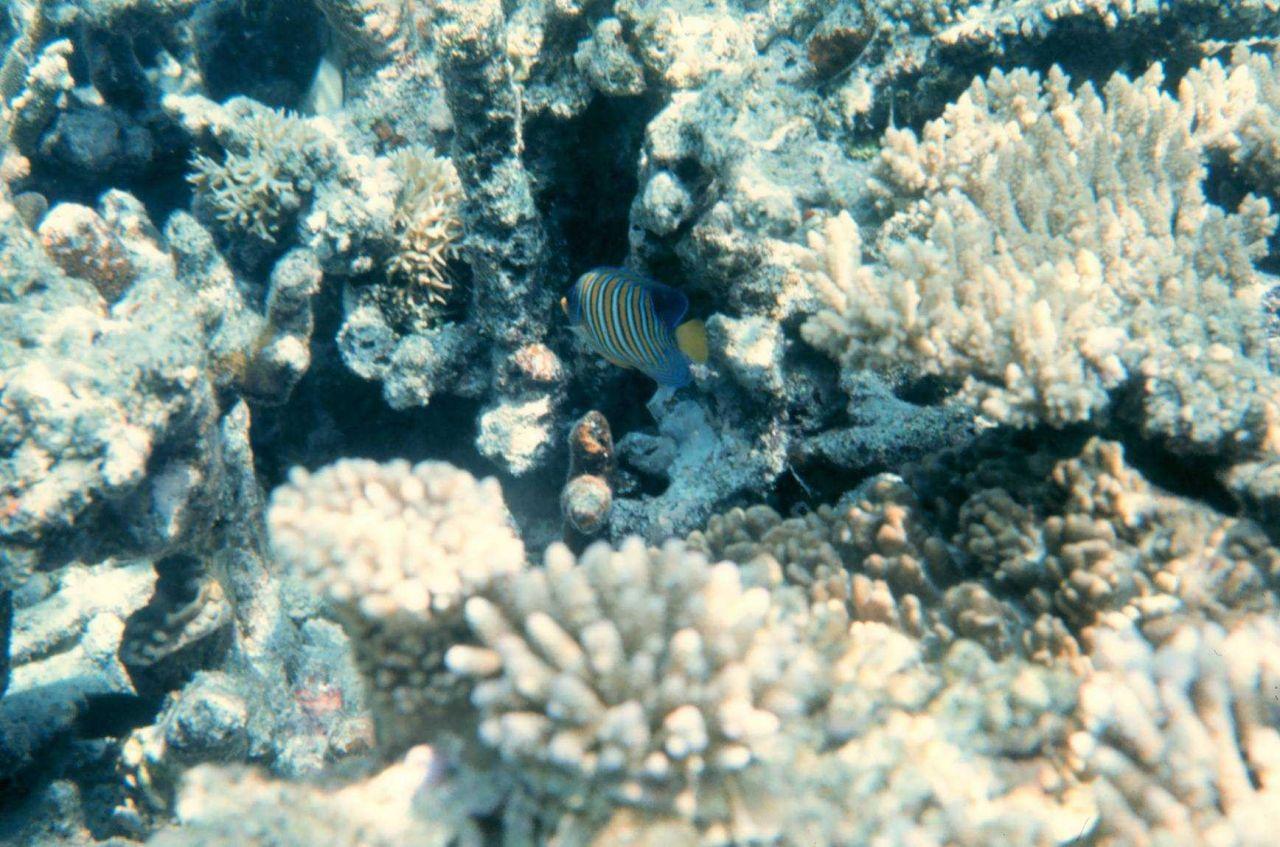 Regal angelfish (Pygoplites diacanthus) and coral Photo