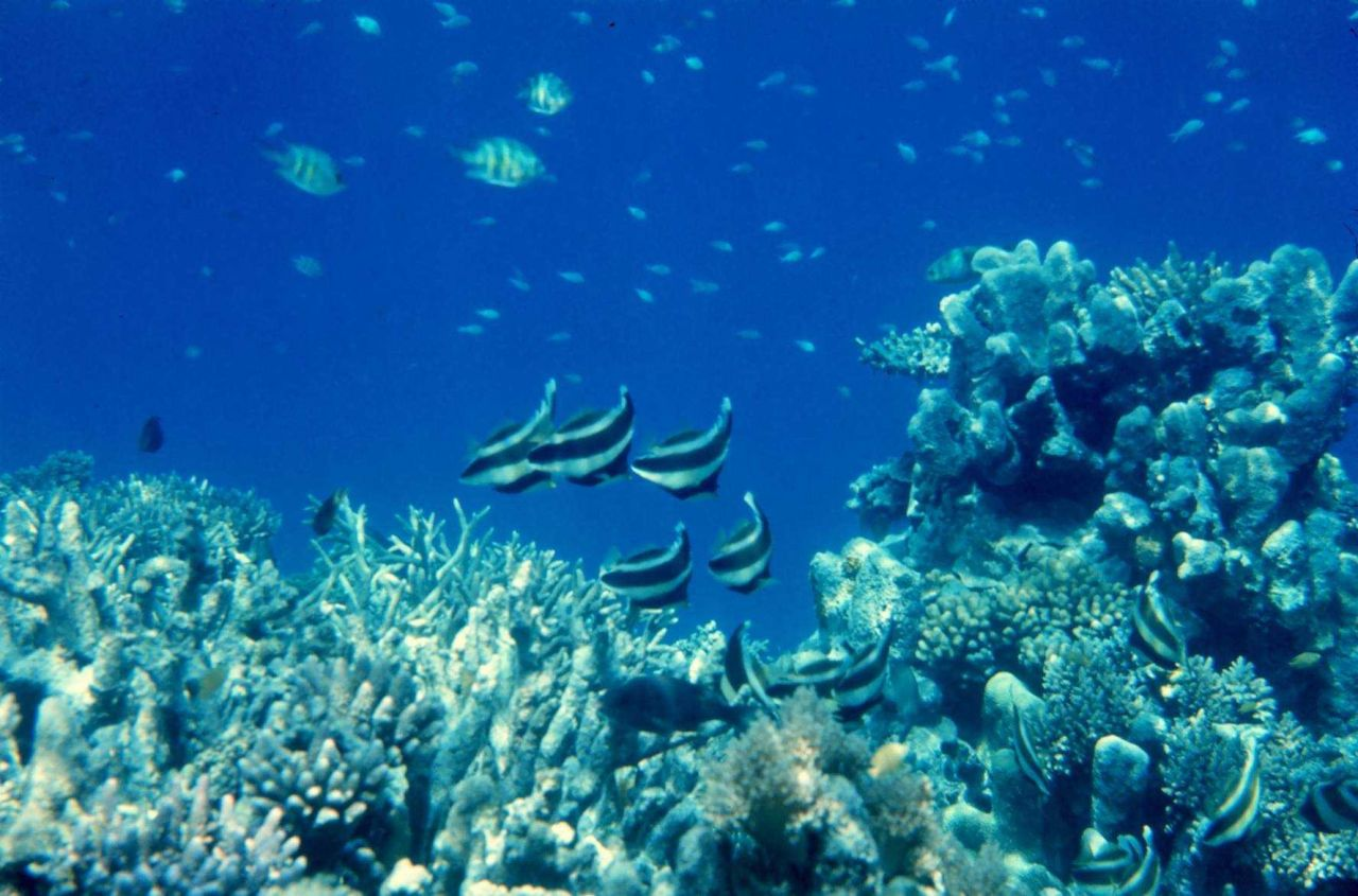 Pennantbannerfish (Heniochus chrysostomus) and coral Photo