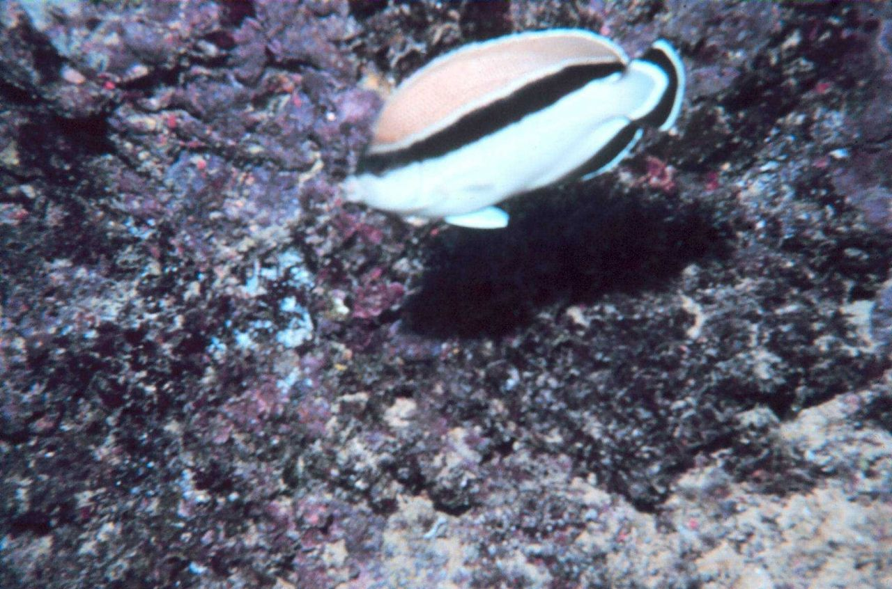 Bandit angelfish (Holacanthus arcuatus) Photo