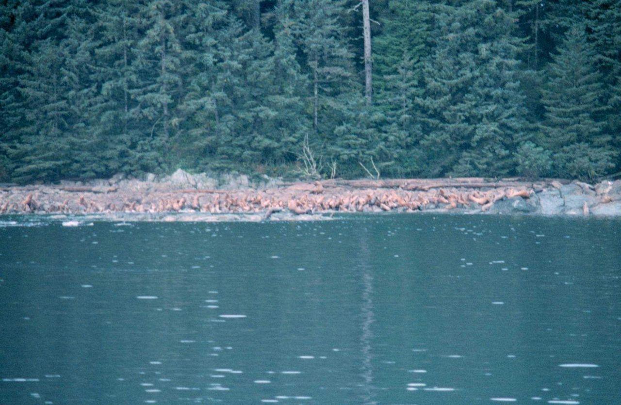 Steller sealions at Sail Island, Frederick Sound. Photo