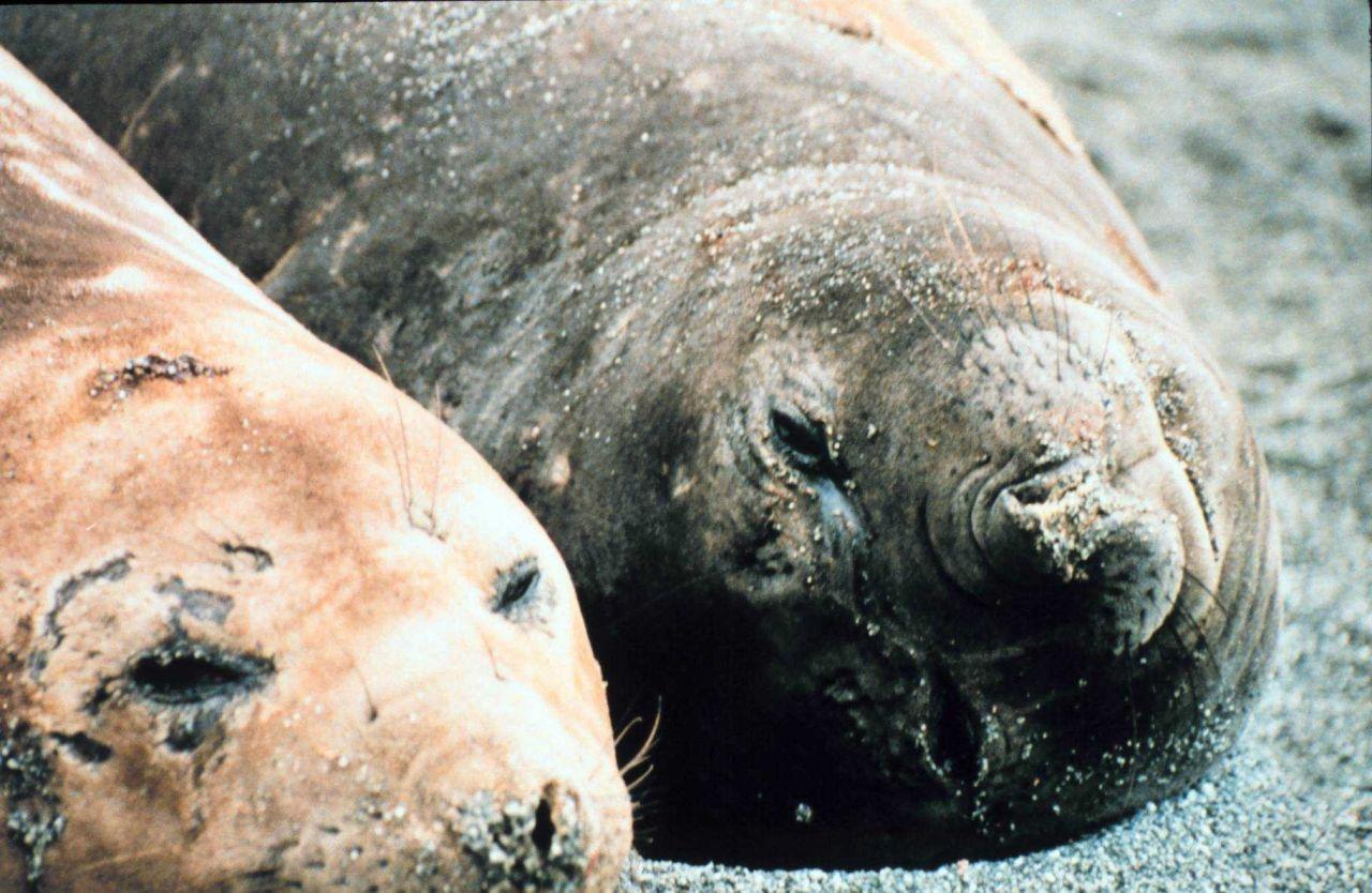 Elephant seals sleeping. Photo