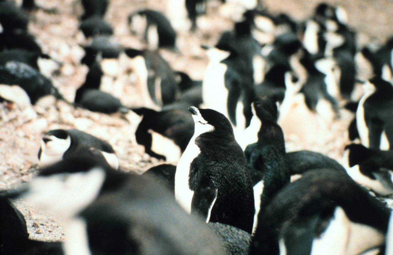 Seal Island chinstrap penguins. Photo
