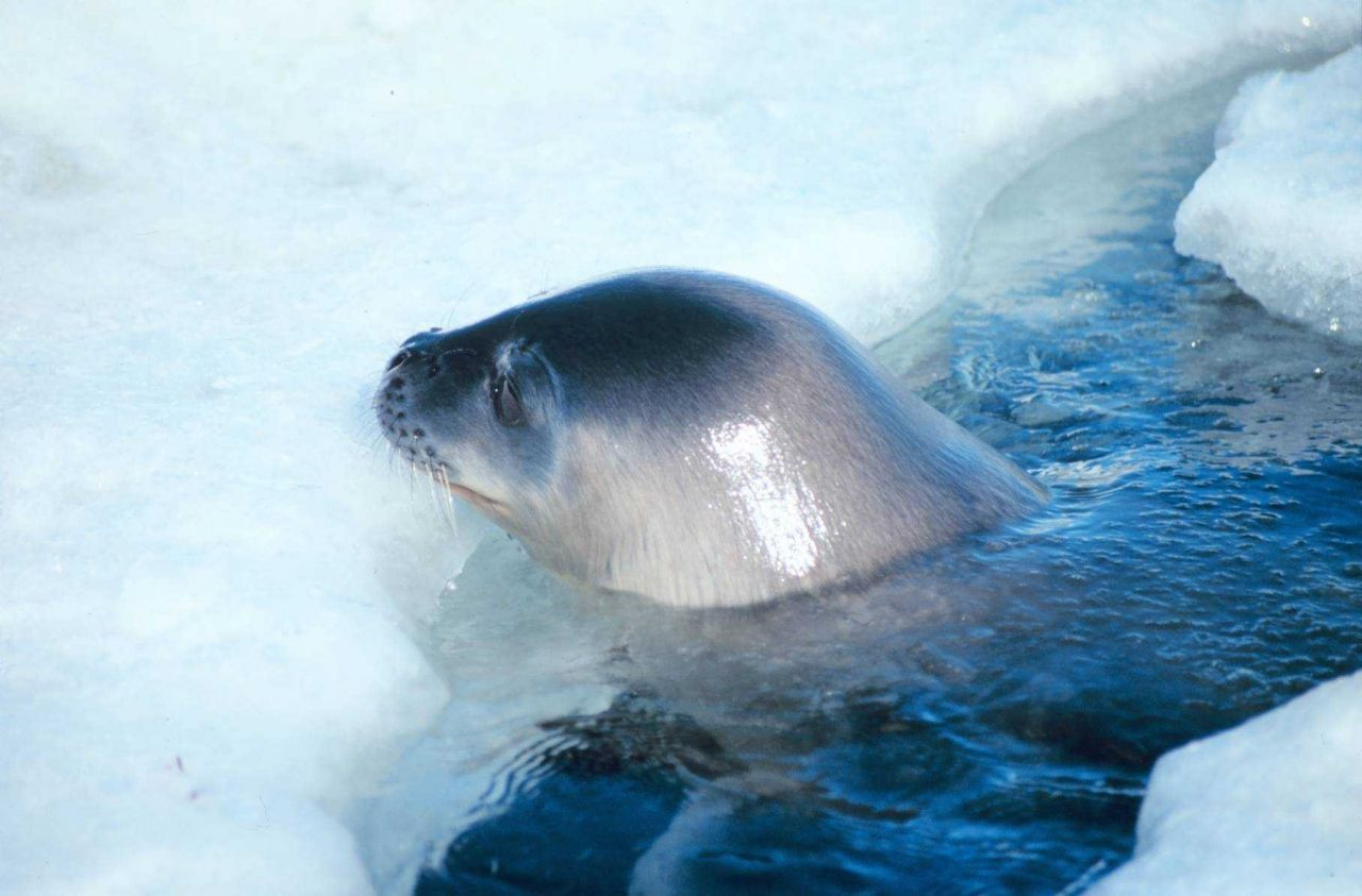 A Weddell Seal at a breathing hole. Photo