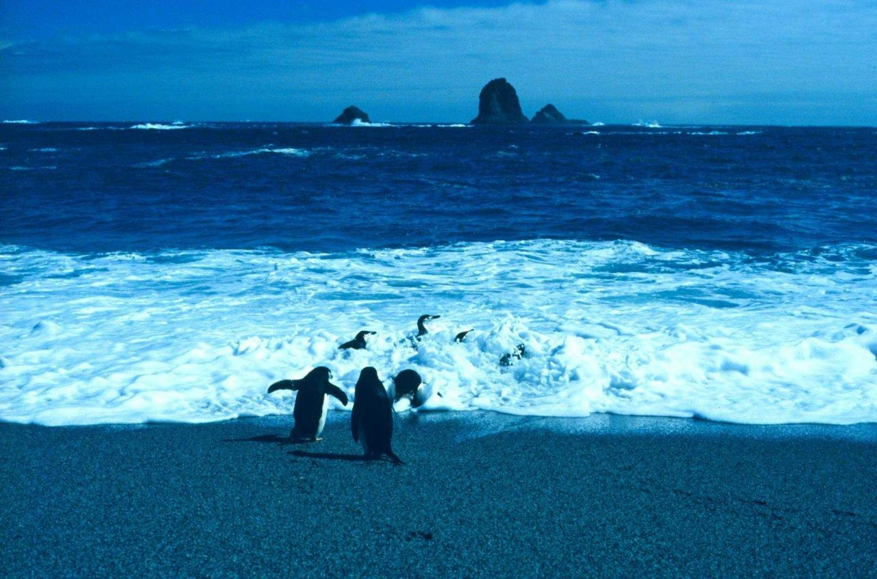 Chinstrap penguins in surf. Photo