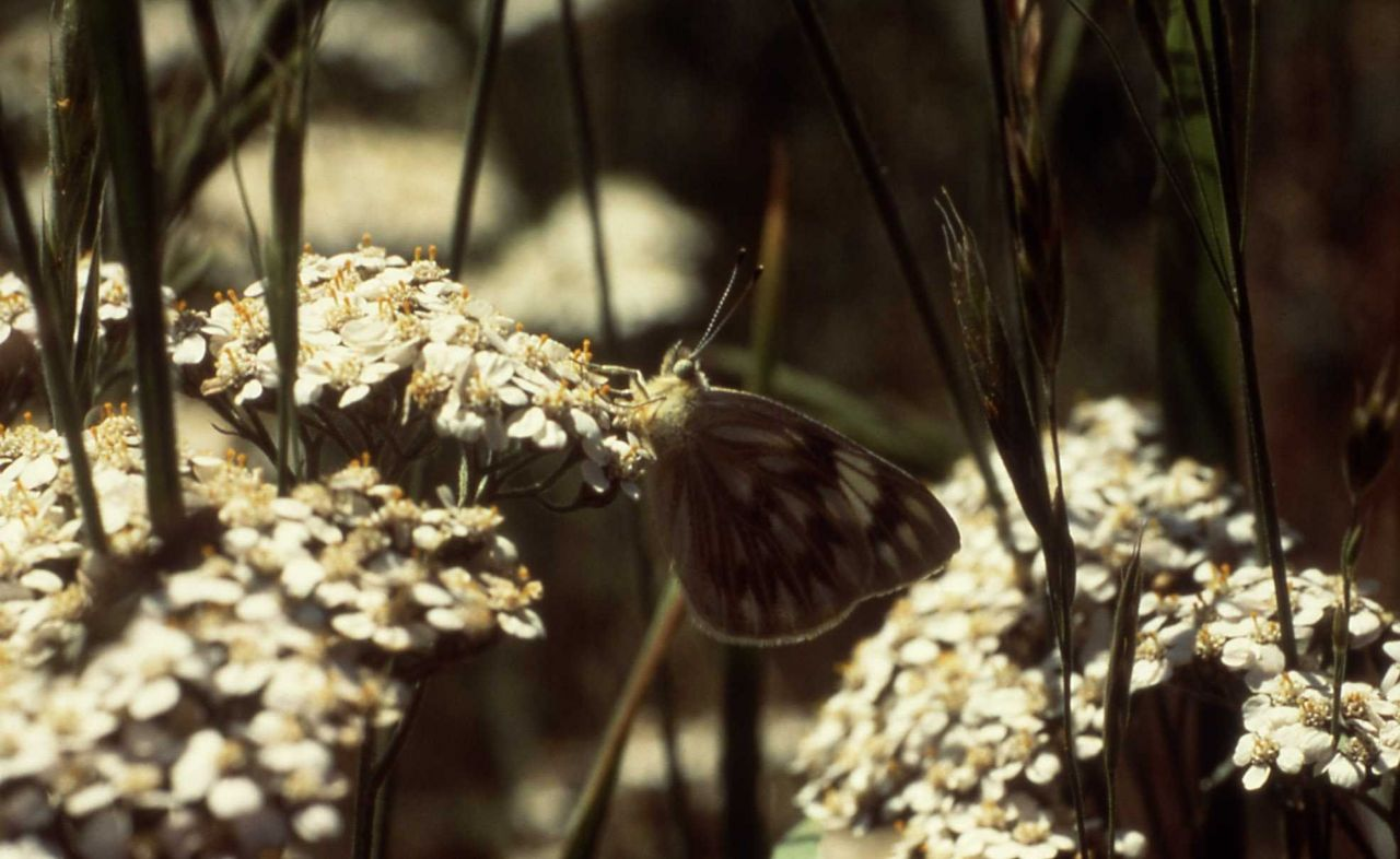 Western or Checkered White butterfly (Pontia occidentalis or protodice) Photo