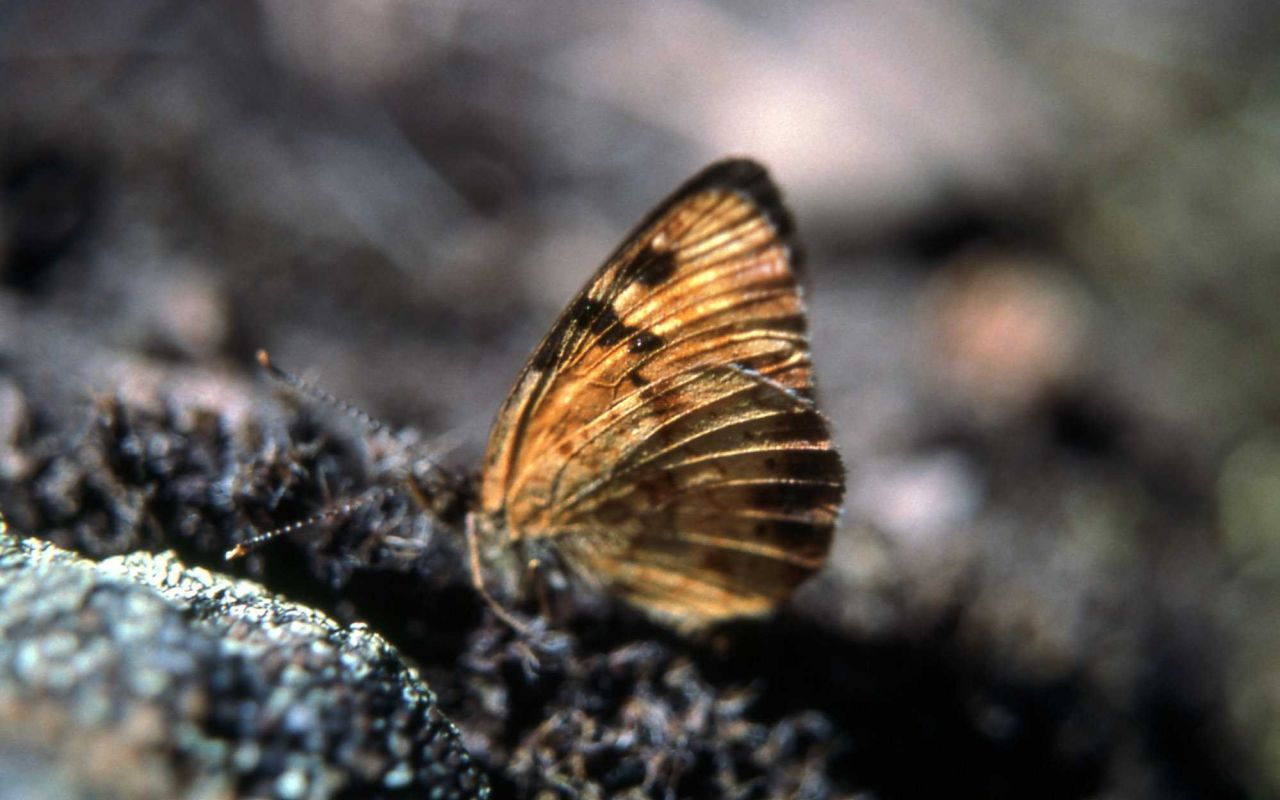 Male Northern Crescent (Phyciodes cocyta selenis) Photo