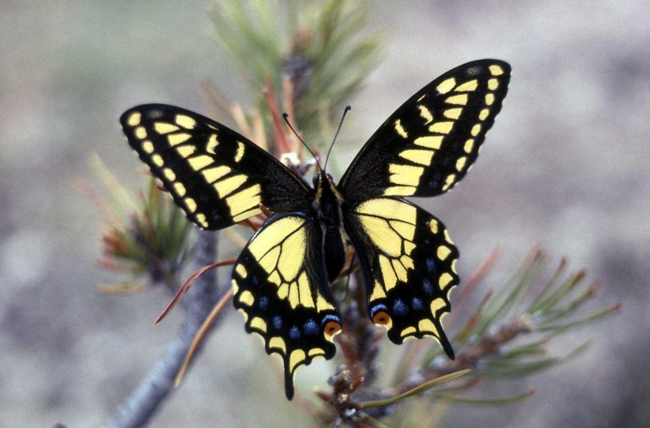 Anise Swallowtail (Papilio zelicaon) Photo