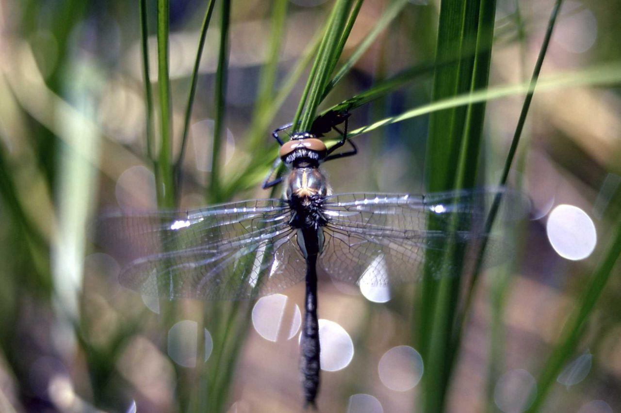 Emerald dragonfly (Somatochlora sp.) Photo