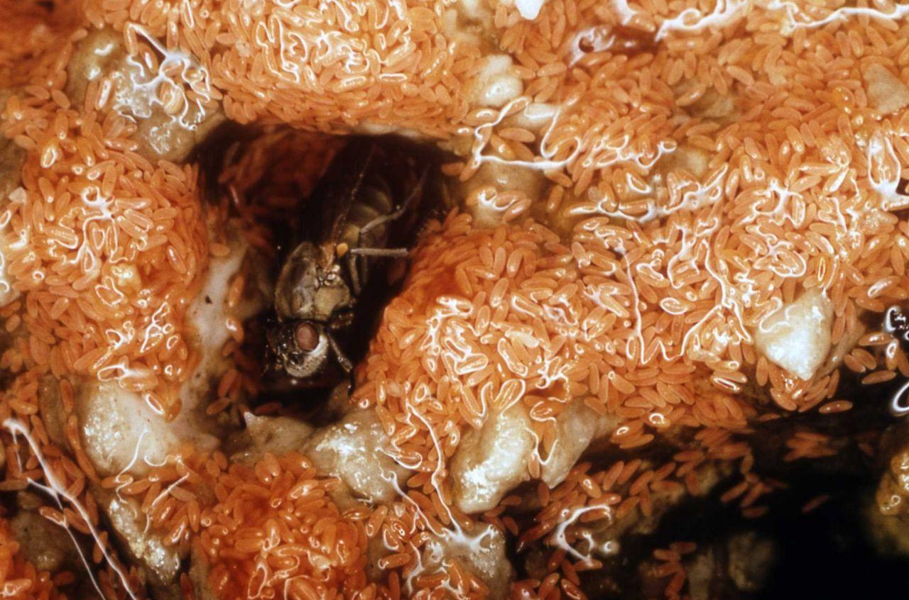 Brine fly with eggs Photo