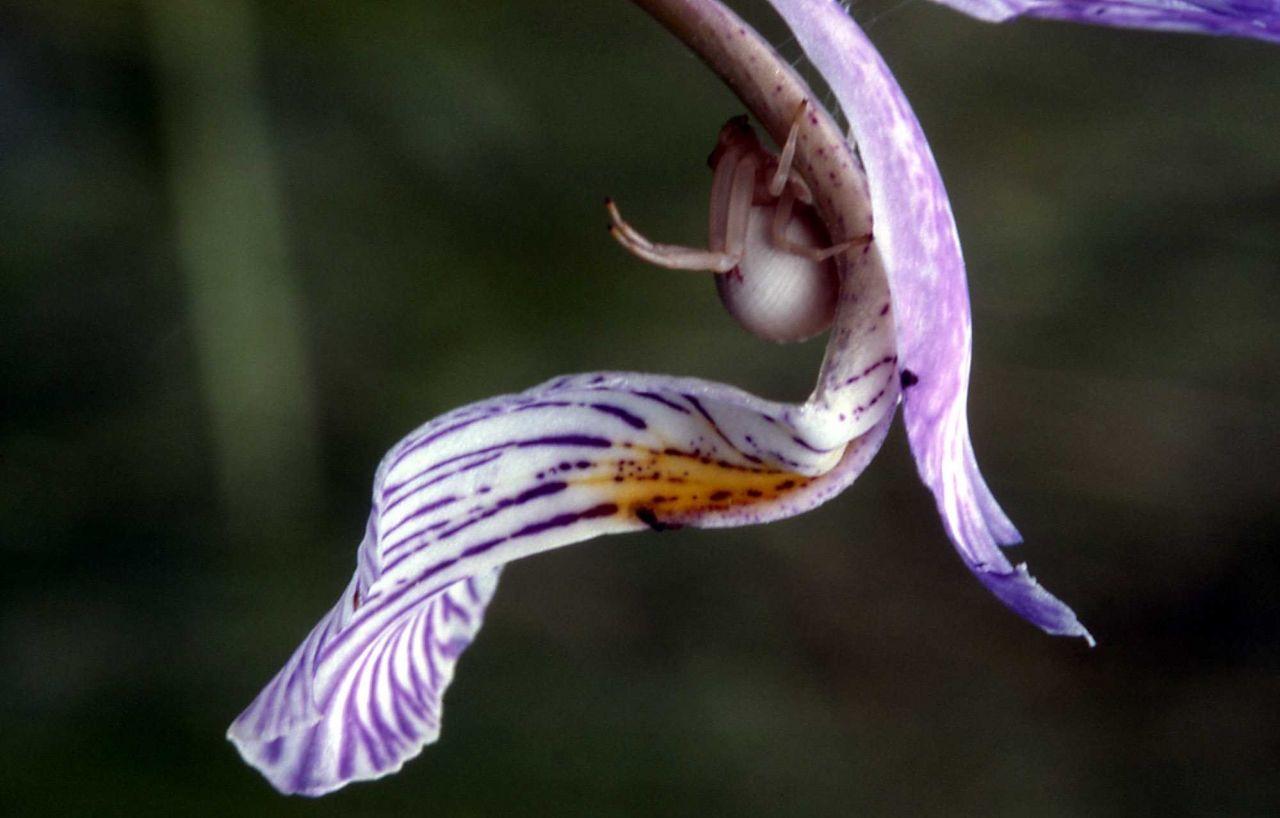Garden spider on Iris Photo