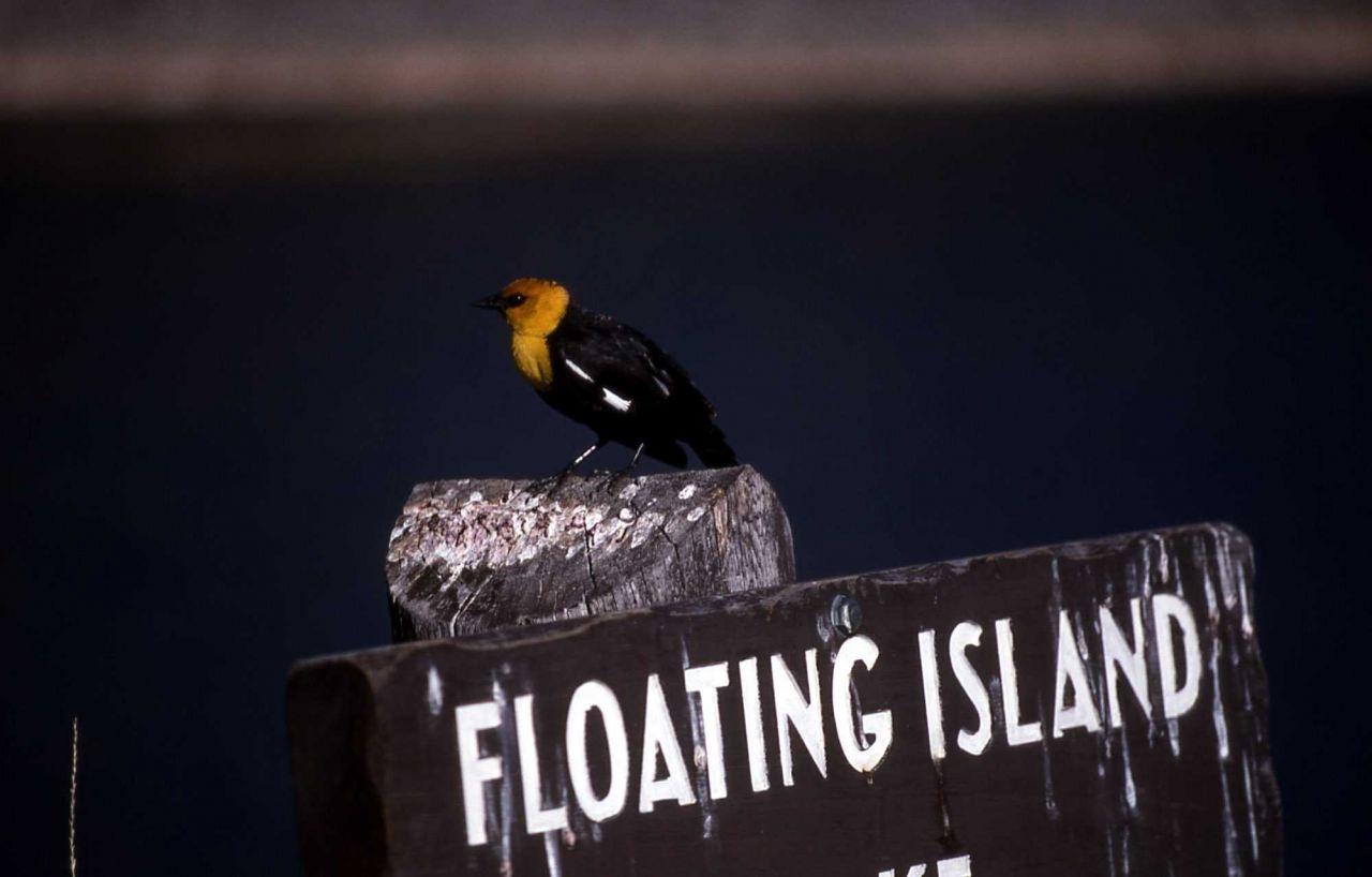 Male Yellow-headed Blackbird at Floating Island Lake Photo