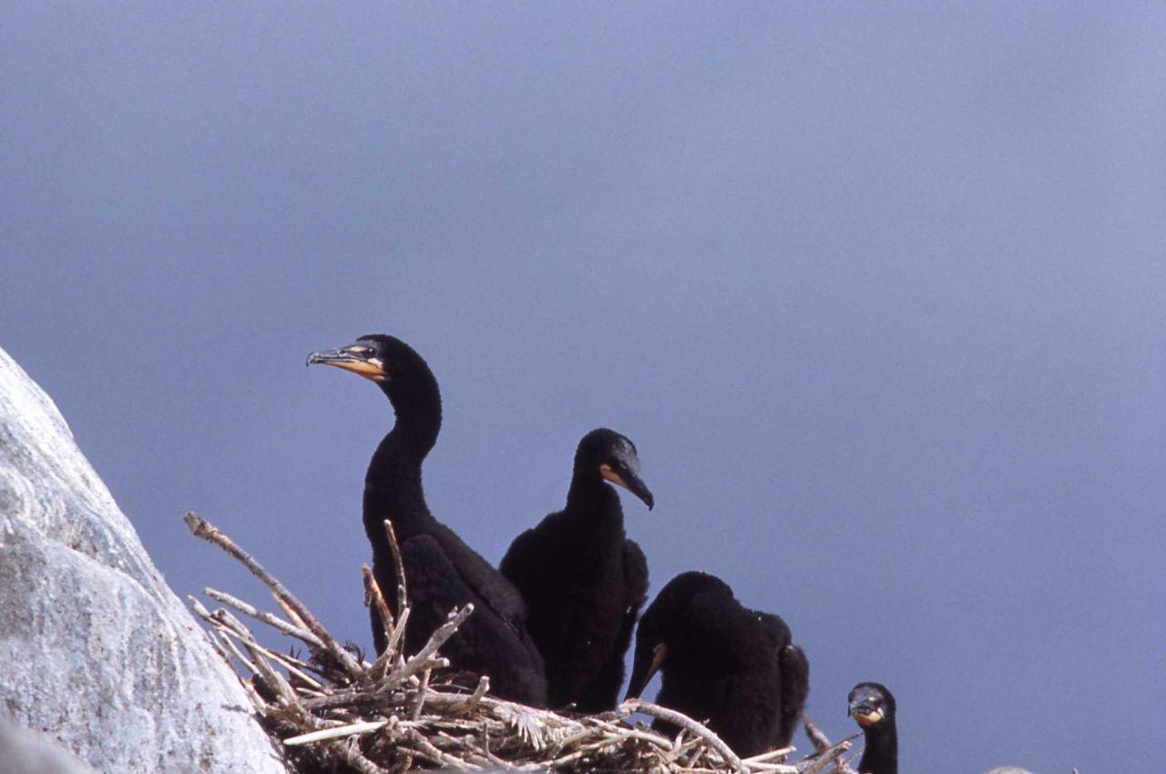 Double-crested cormorant nestlings Photo