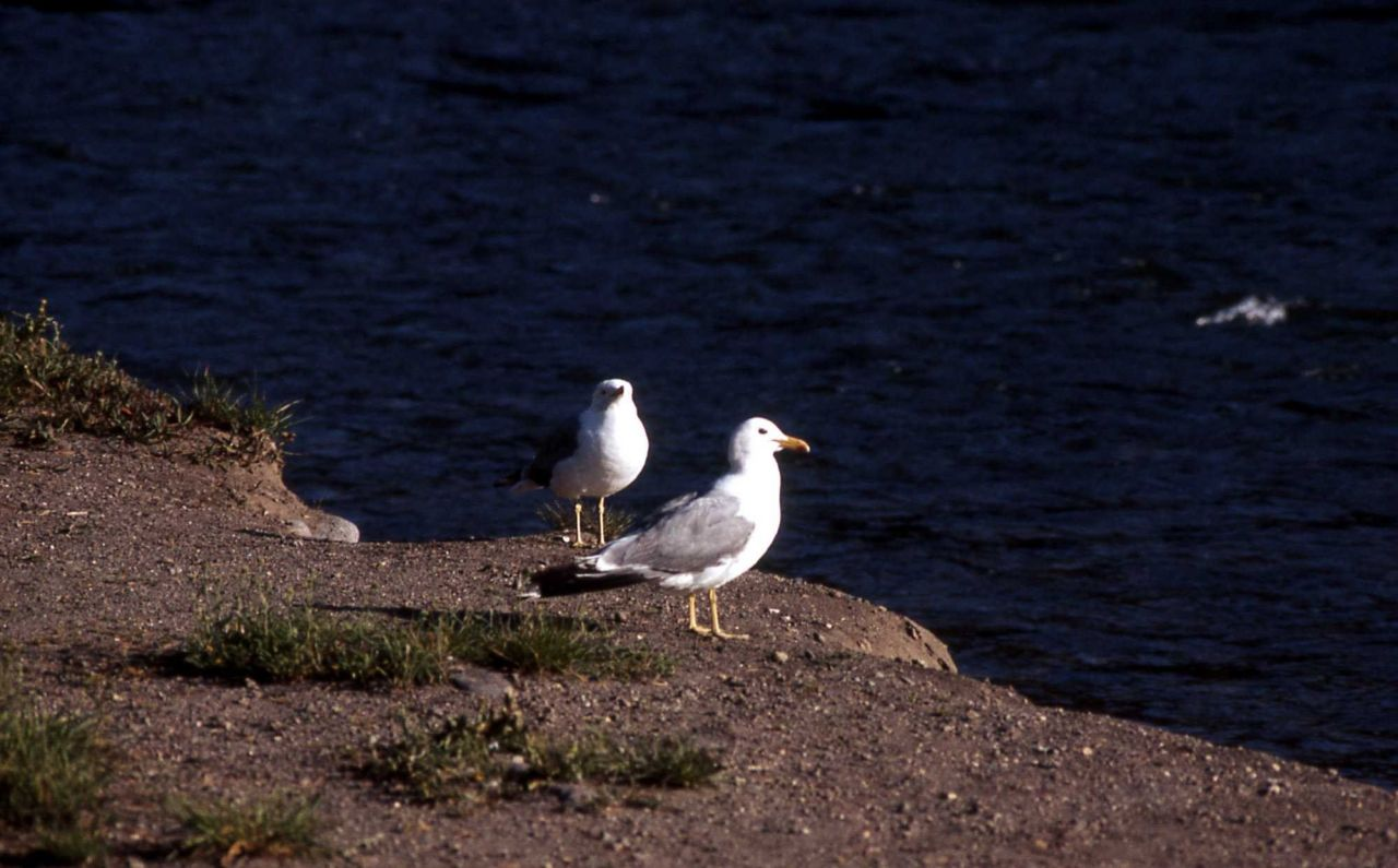 Two California Gulls on Yellowstone River Photo