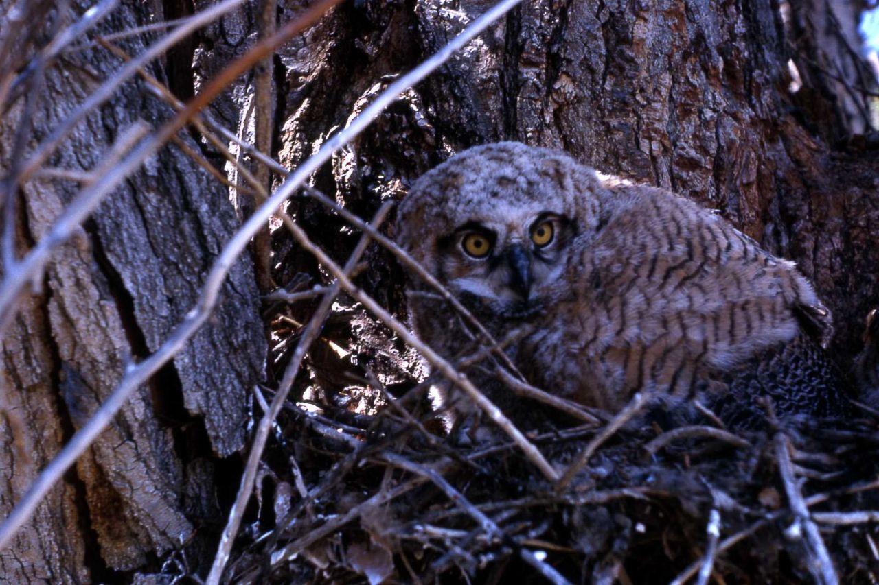 Great Horned Owl nestling Photo