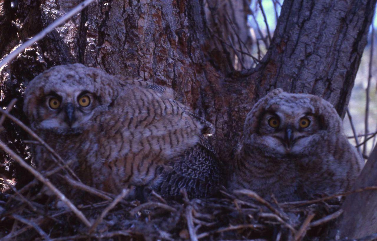 Great Horned Owl nestlings Photo