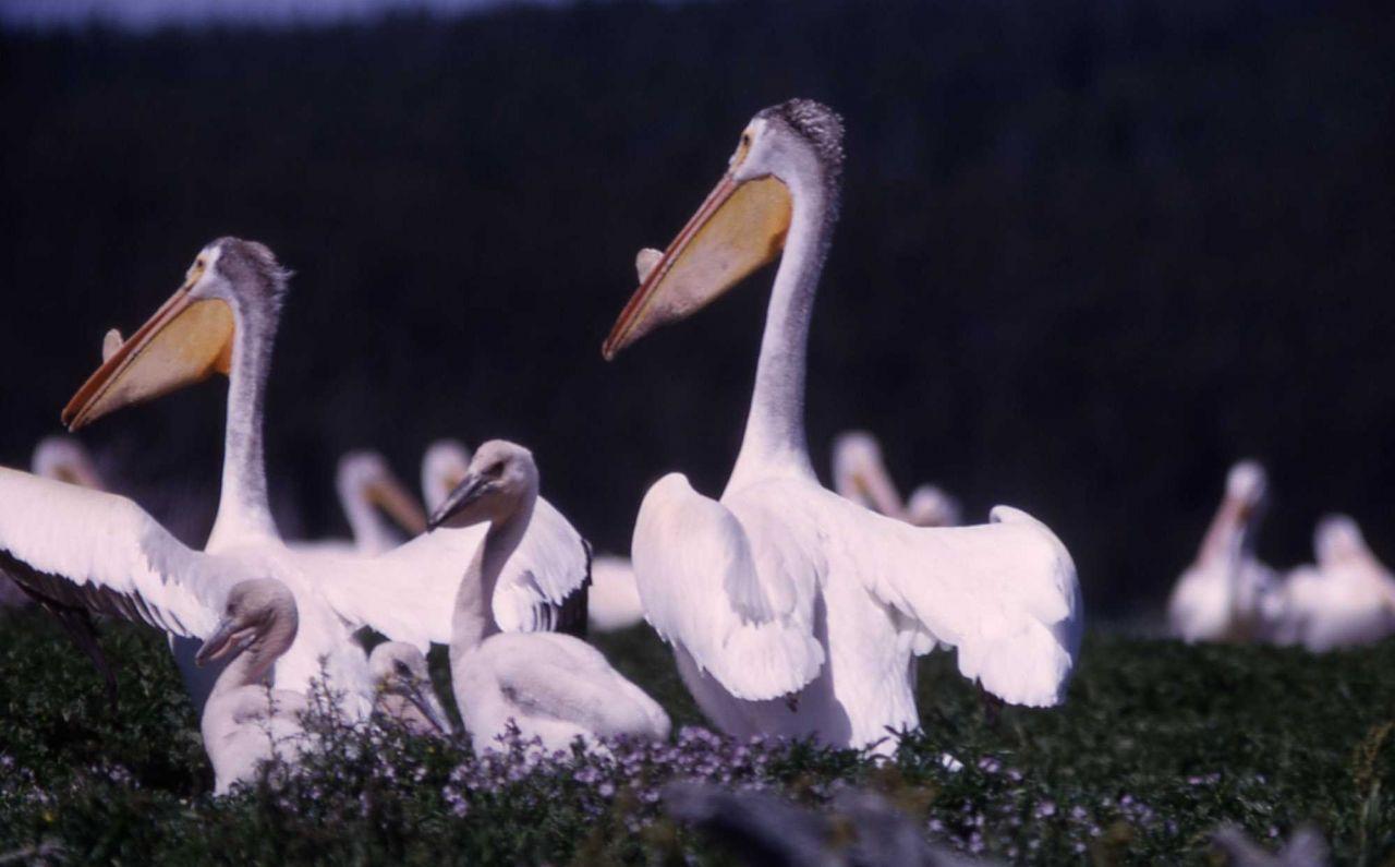 White pelicans nesting Photo