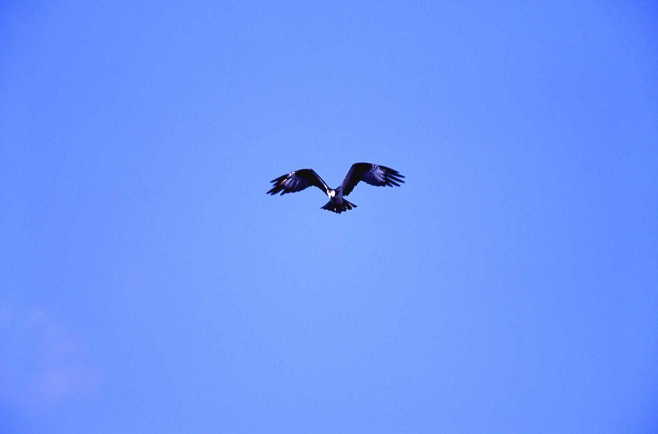 Osprey in flight above Firehole River Photo