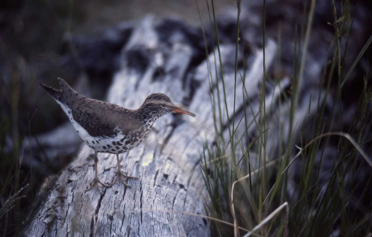 Spotted Sandpiper with summer plumage Photo