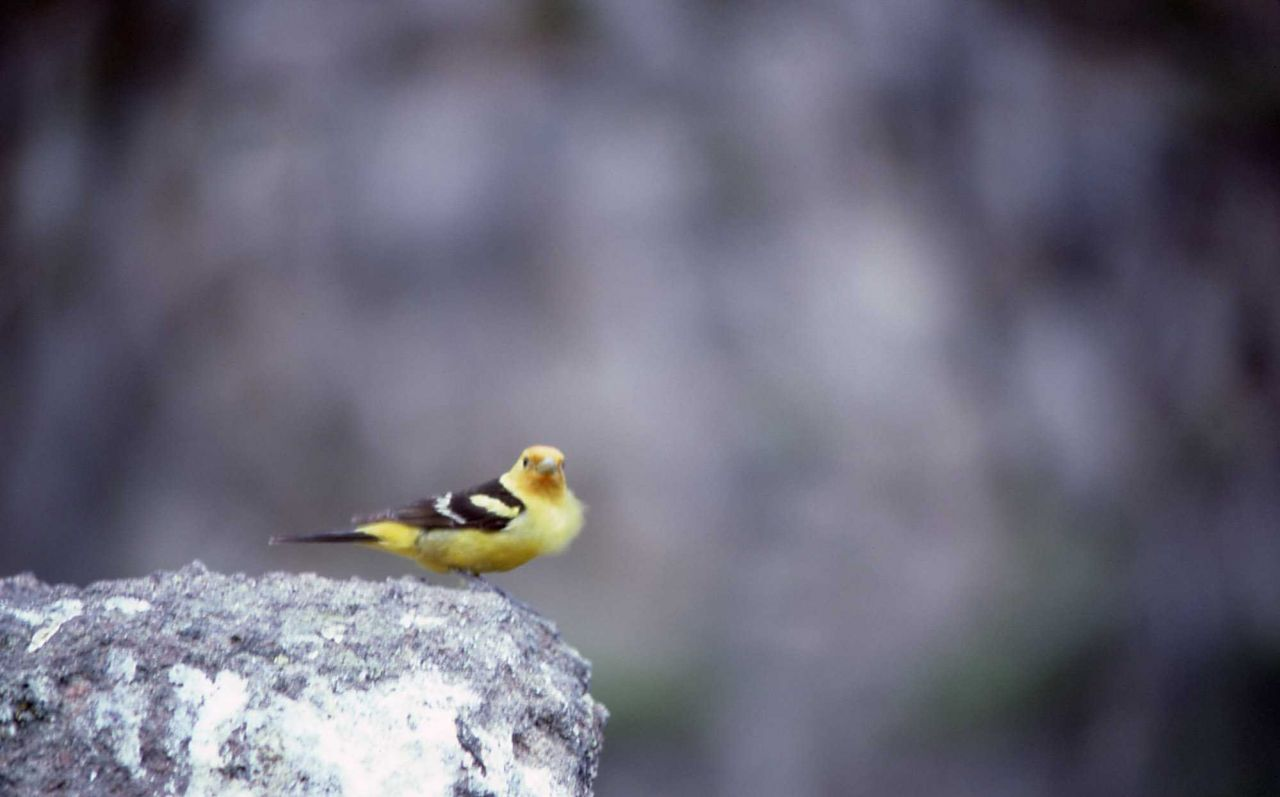 Male Western Tanager Photo