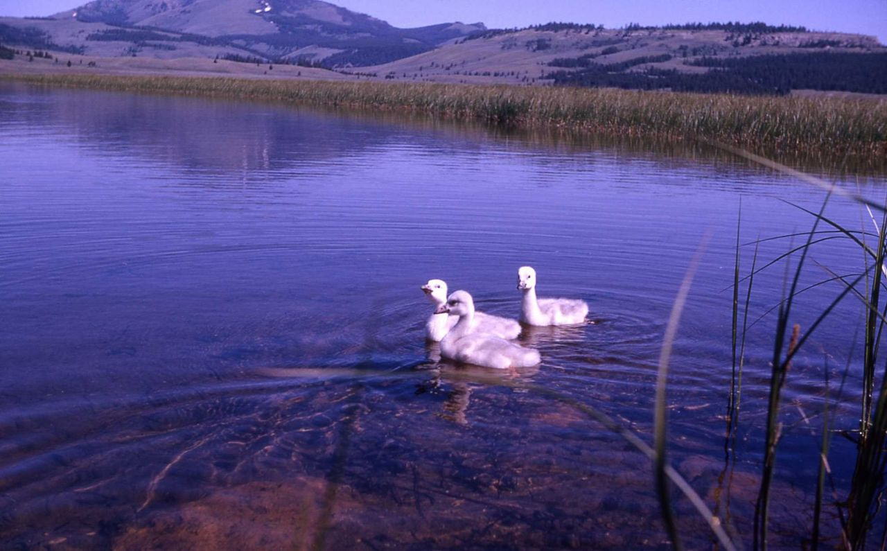 Trumpeter swan cygnets Photo