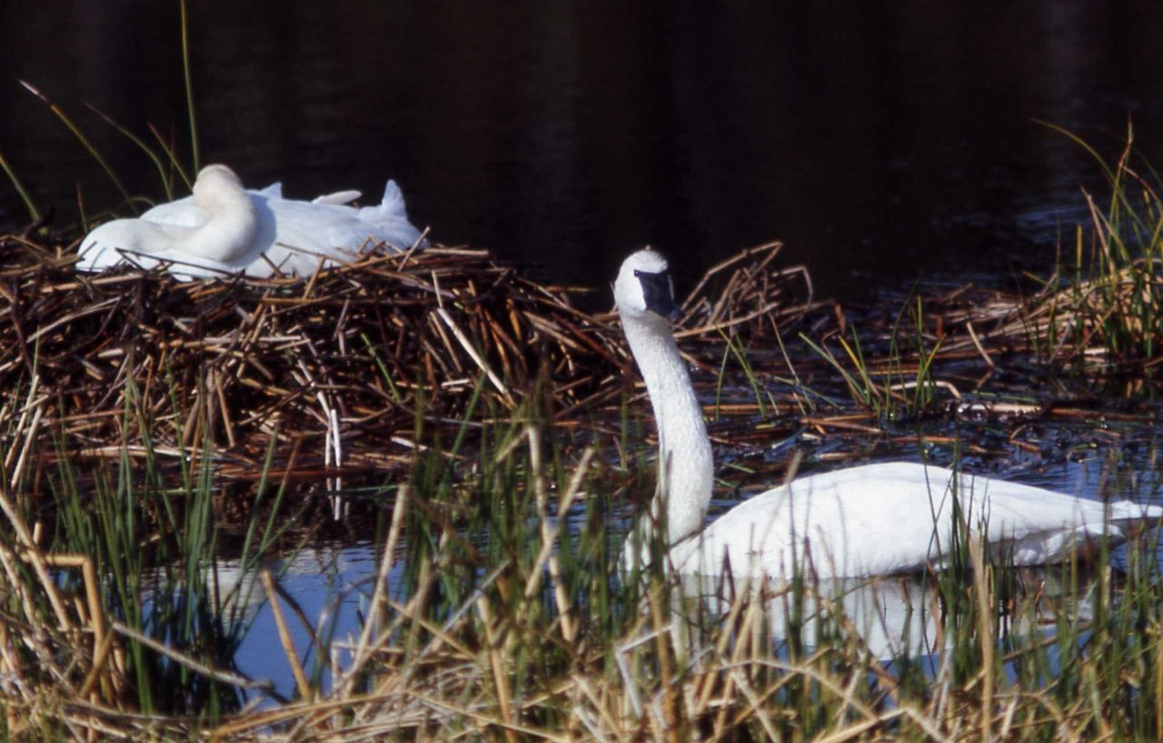 Trumpeter swan on nest Photo