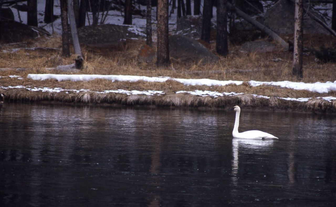 Trumpeter swan on the Madison River Photo