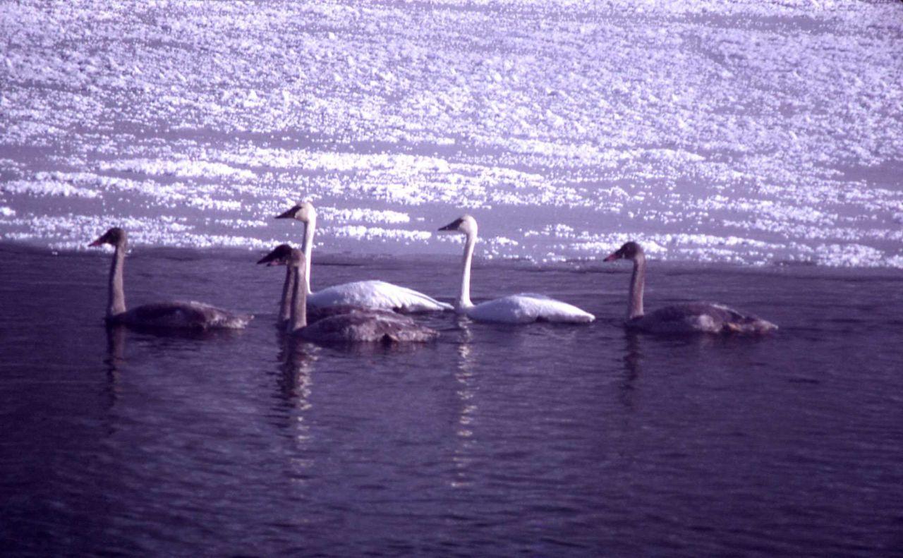 Trumpeter swan pair & four immatures Photo