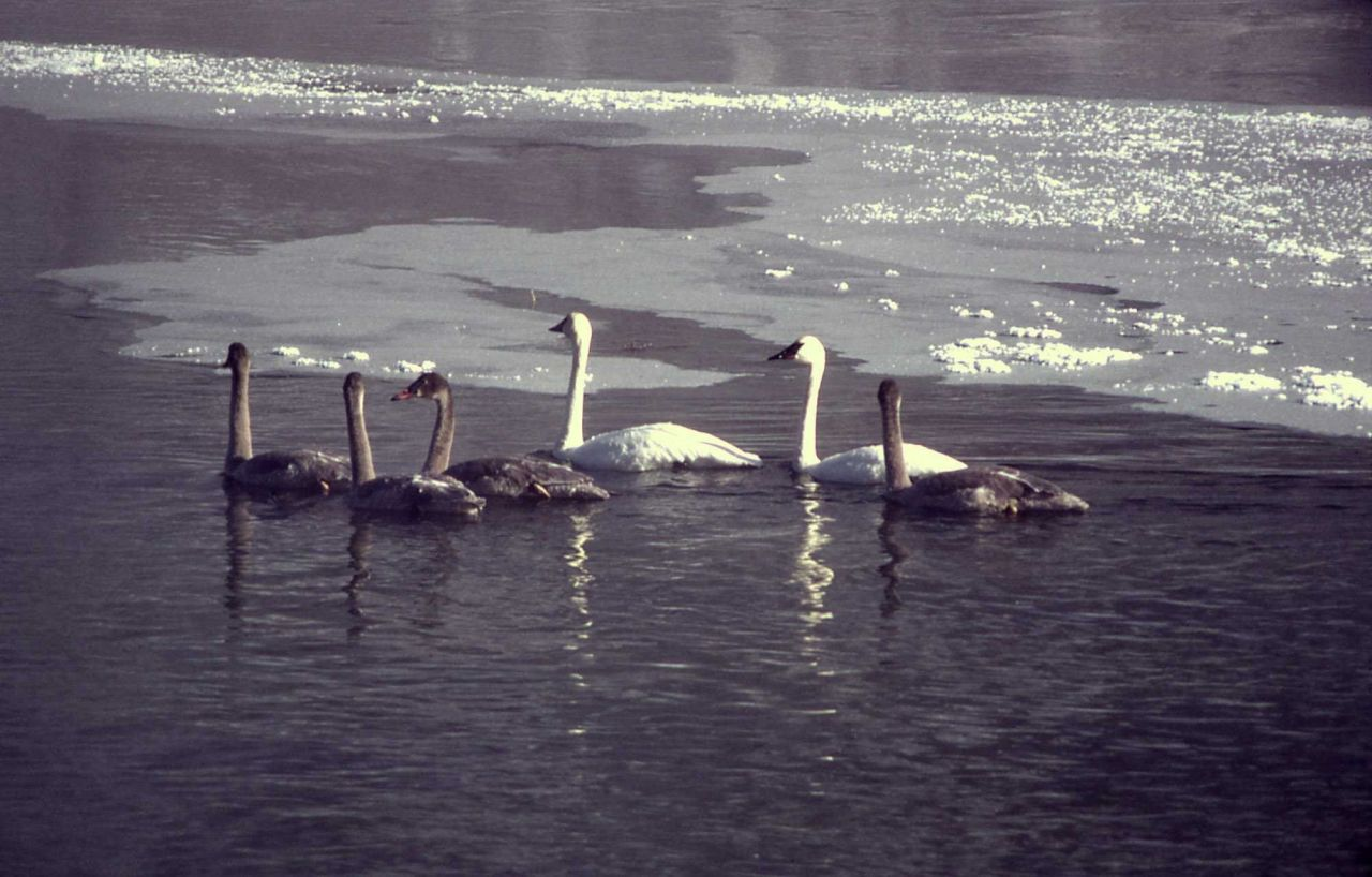 Trumpeter swan pair & four immatures Photo