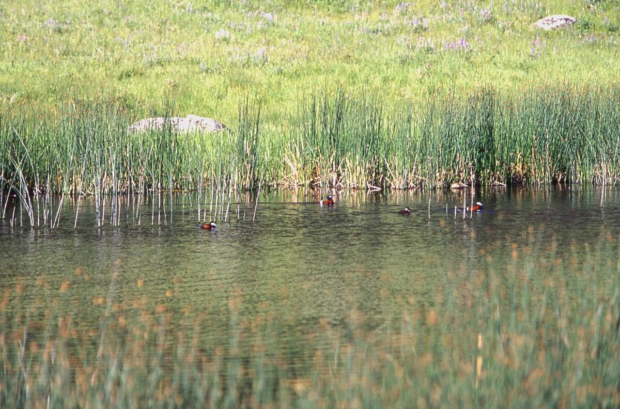 Rudy duck near Junction Butte Photo