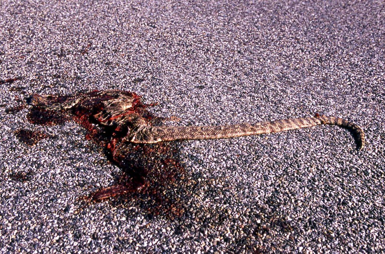Road kill - Bull Snake near Mammoth Hot Springs Photo