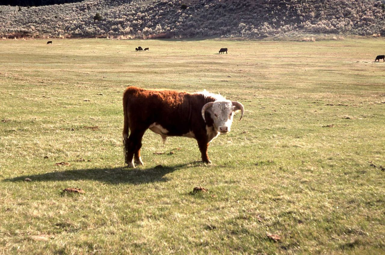Hereford bull outside Yellowstone - unknown location in Montana Photo