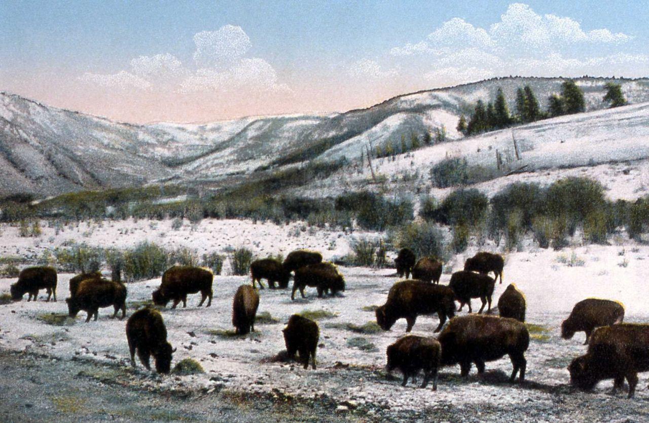 Postcard -157 - The Buffalo Herd Photo
