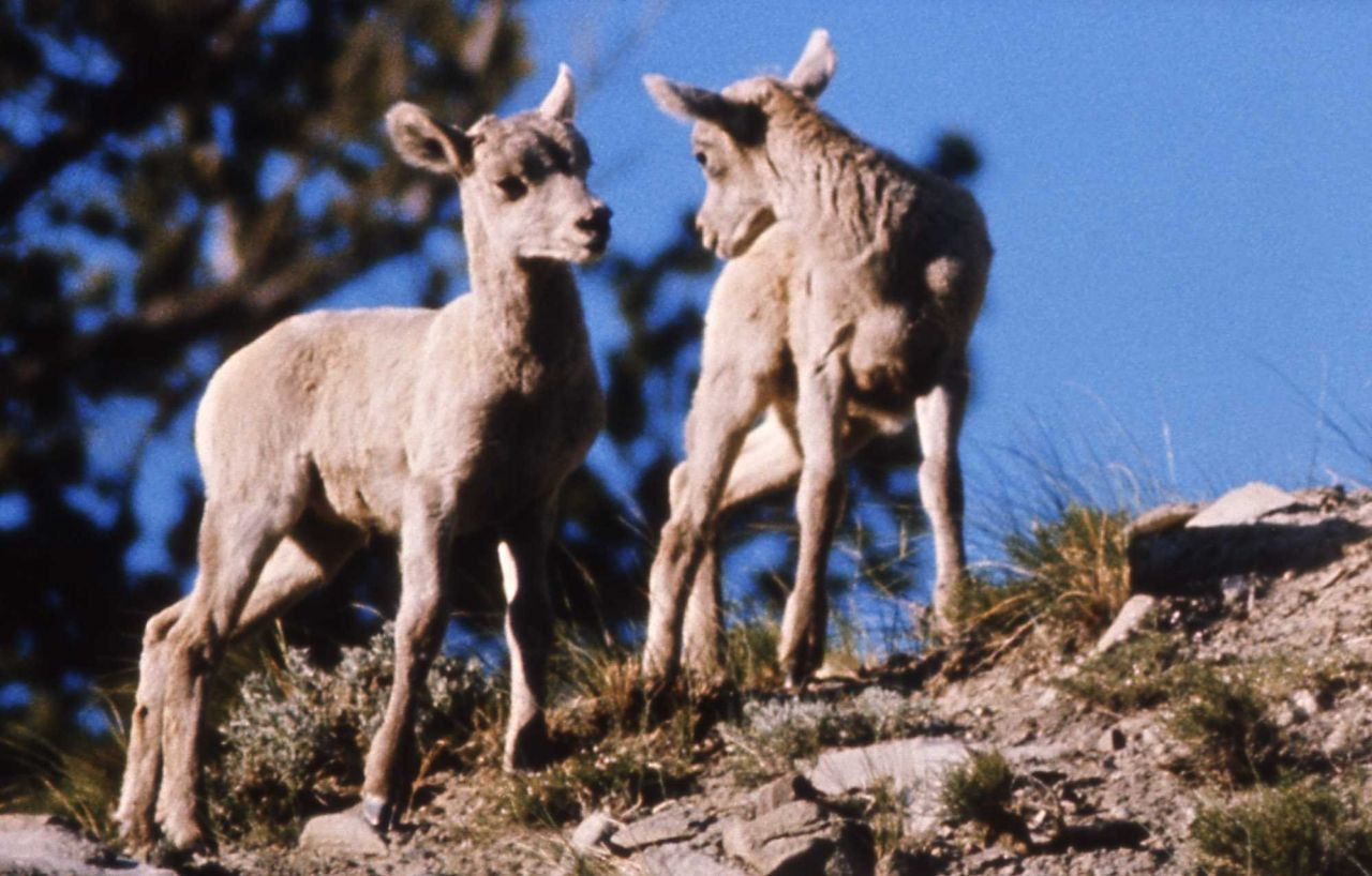 Two Bighorn Sheep lambs Photo