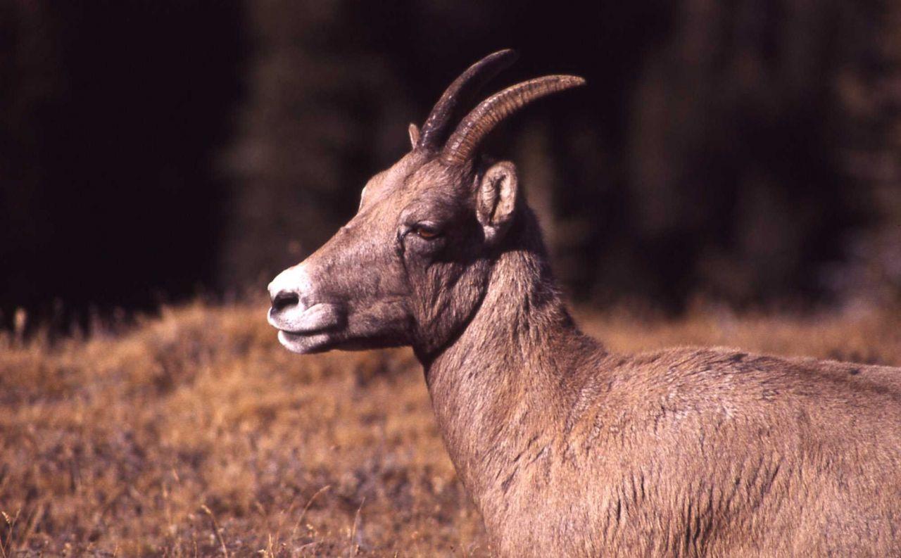 Bighorn Sheep ewe, head shot, side view Photo