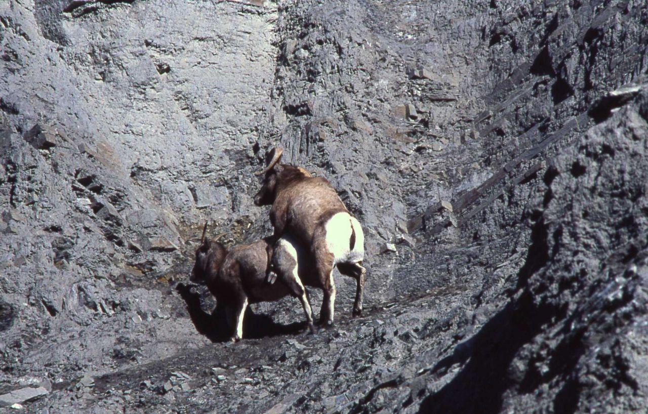 Bighorn Sheep ram & ewe mating Photo