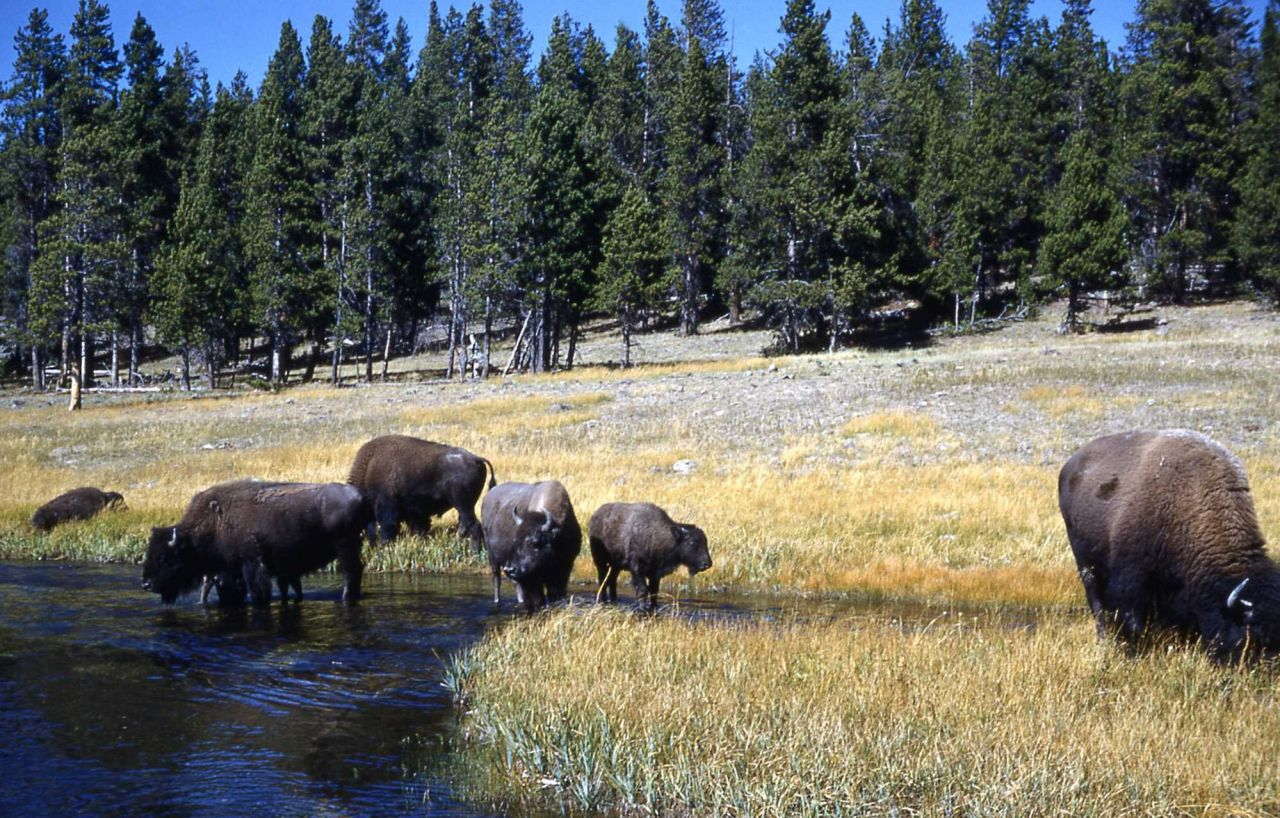 Bison at Nez Perce Creek Photo
