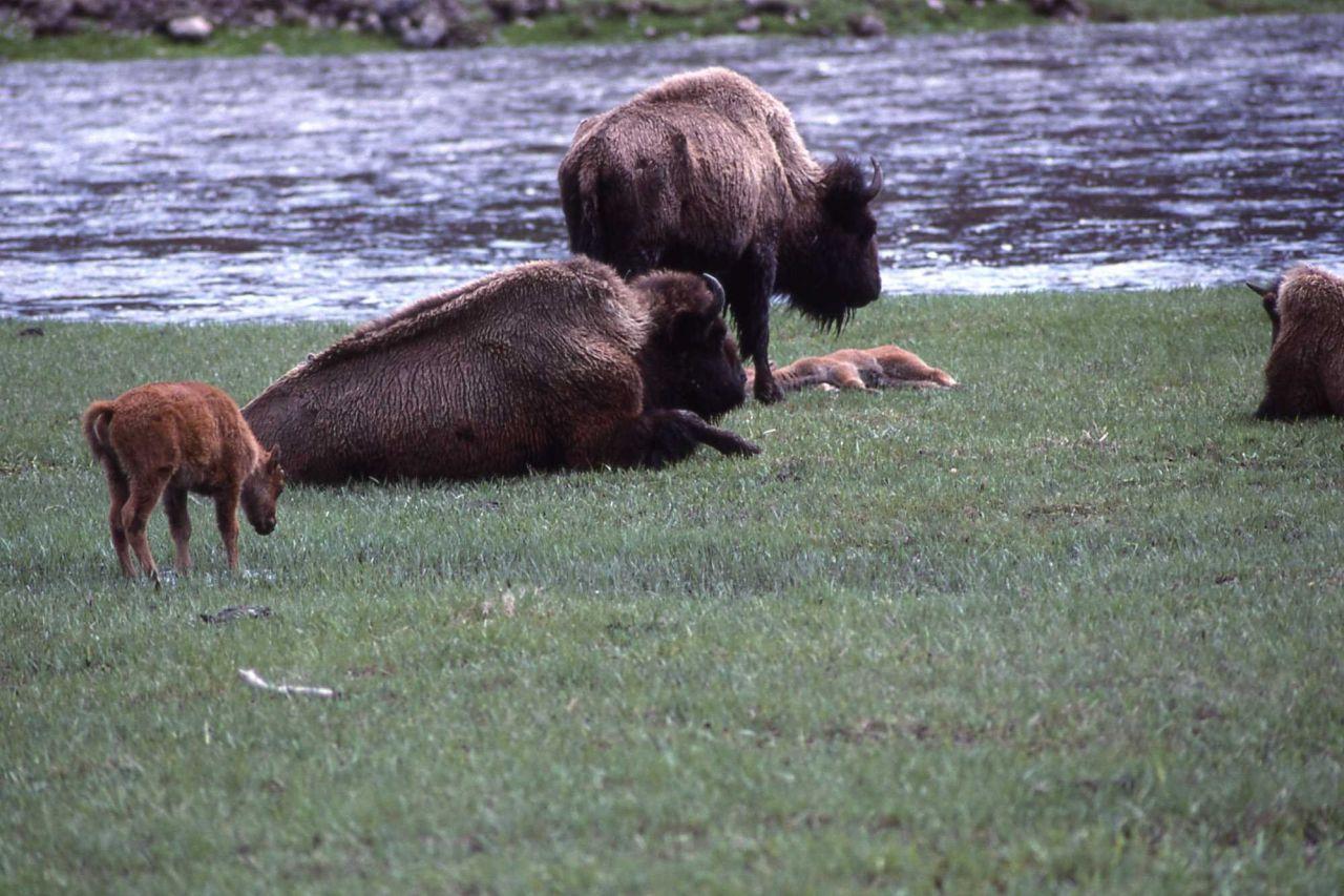 Bison & calves at Madison river Photo