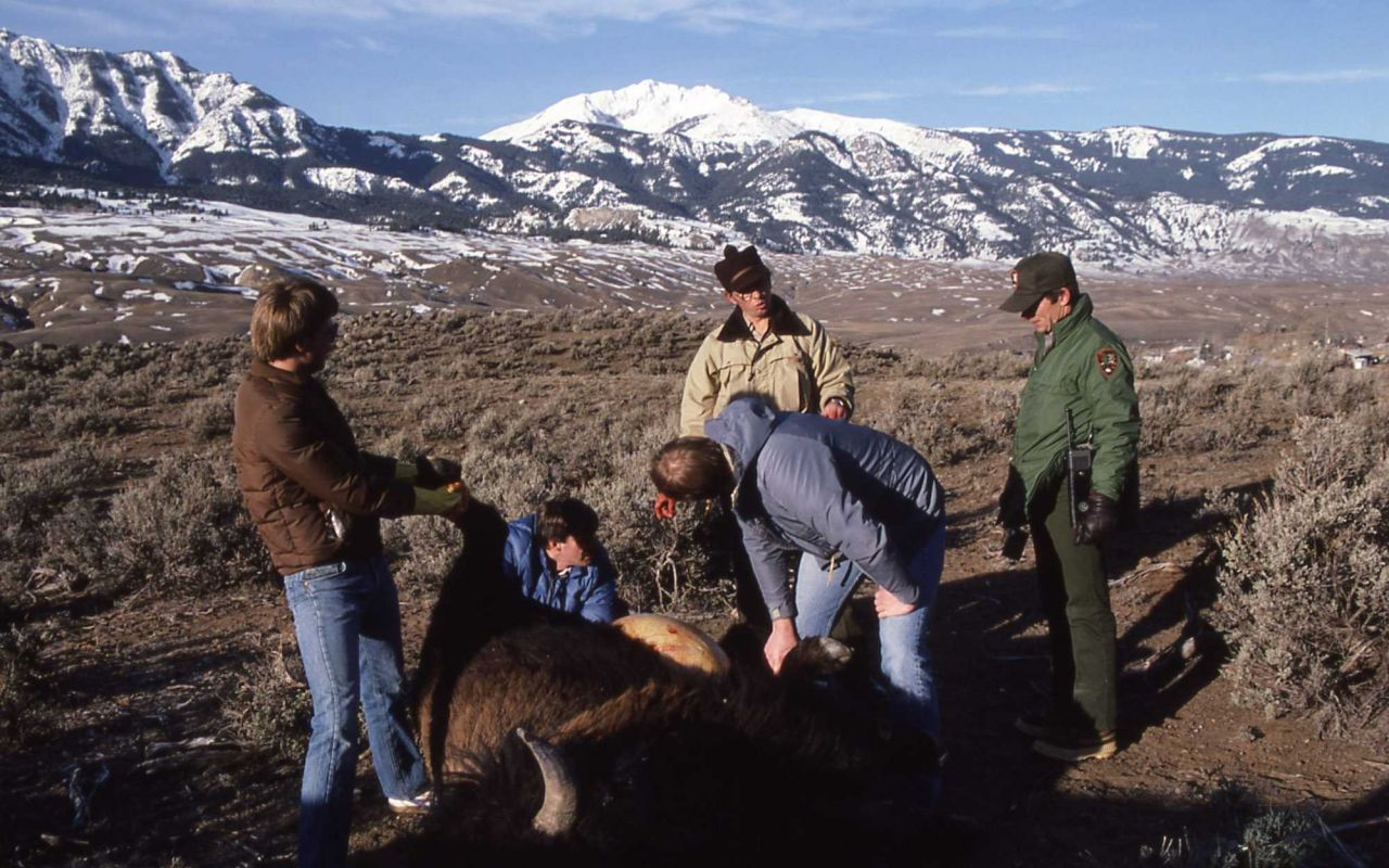 Gutting bison following hunt near Gardiner, Montana Photo
